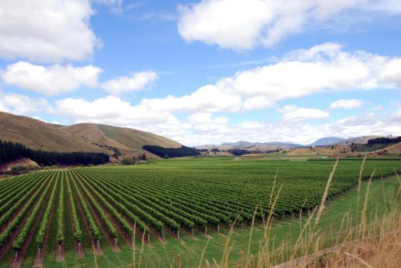 Craggy Range Pinot Noir Vines